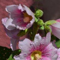 Цветы мальвы :: Тамара Бедай