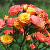 Розы :: Swetlana V