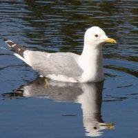 Сизая чайка на озере :: Татьяна Георгиевна