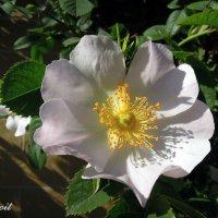 Цветок несчастливой, но вечной любви :: Тамара Бедай