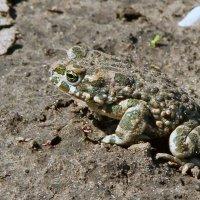 жаба обыкновенная. :: barsuk lesnoi