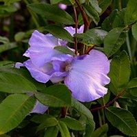 Цветы, как бабочки и их недолгий век! :: Татьяна Помогалова