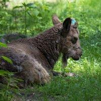 Сибирский горный козел :: Владимир Шадрин