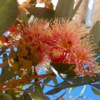 Цветки и молодые плоды эвкалипта.... :: Наталья Меркулова