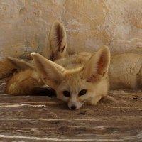 фЕнек - маленькая пустынная лисичка.... необычайно милое создание... :: Наталья Меркулова