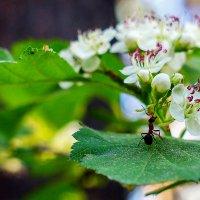 Черноплодки цвет :: Сергей Царёв