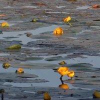 Озеро Ломпадь. Кувшинки :: Анатолий Кувшинов