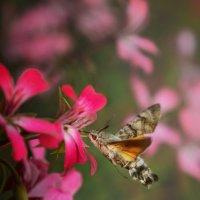 Бабочка-колибри. :: Olga Ger