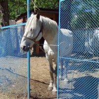 Лошадь из контактного зоопарка . :: Мила Бовкун