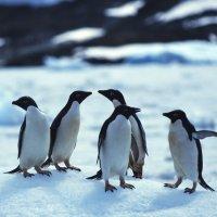 пингвины :: Димончик