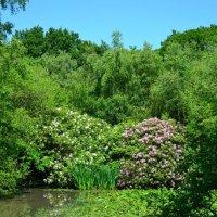 Рододендровое озеро :: Тамара Бедай