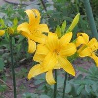 Жёлтый лилейник :: Дмитрий Никитин