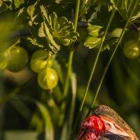 ягоды :: Геннадий Свистов