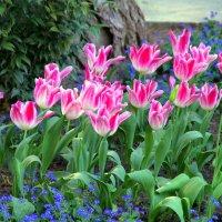 Блаженство тюльпанов… :: Валерий Новиков