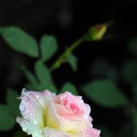 DSC_0145  Роза с бутонами ..... :: Aleks Minin