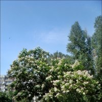 Катальпа - украшение нашего двора :: Нина Корешкова