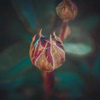 Бутон садовой розы :: Екатерина