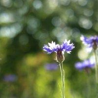 Скромненький синий цветочек :: Ирина
