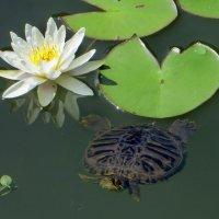 Водяная лилия и черепашка. :: Nata