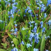 Первые садовые цветы. :: sav-al-v Савченко