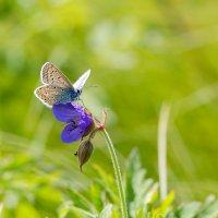 Бабочка голубянка :: Александр Синдерёв