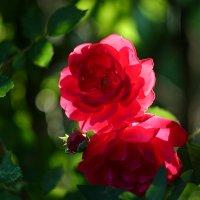 Роза в лучах заката :: Minowara Sam