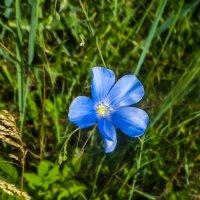 дикий цветок DSCF2752 :: Олег Петрушин