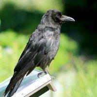 Мудрый ворон :: Alexander Andronik
