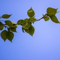 Липкие тополиные листочки :: Светлана SvetNika17