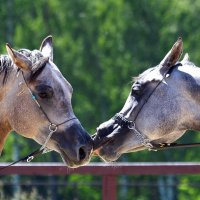 арабские лошади :: Наталия Кожанова