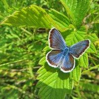 Голубянка Аргус. :: vodonos241