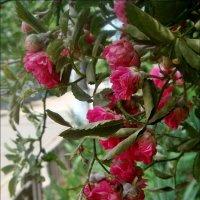 Гроздь вьющихся роз :: Нина Корешкова