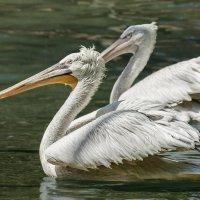 Пеликаны :: Nn semonov_nn