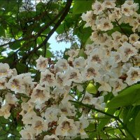 Цветы катальпы :: Нина Корешкова