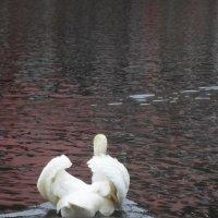 лебедь :: Lyudmila