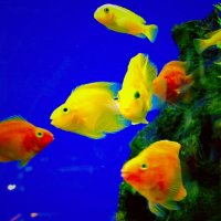 Аквариумные рыбки :: Сергей Беличев