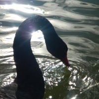 черный лебедь :: Волкова Наталия