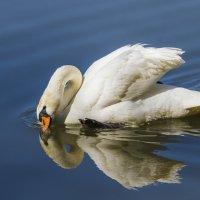 лебедь :: Петр Беляков