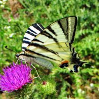 *Подалирий (лат. Iphiclides podalirius) — бабочка семейства парусников (Papilionidae) :: vodonos241