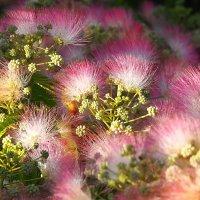 Альбиция ленкоранская цветет :: Swetlana V