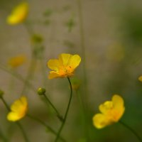 Лютики - цветочки... :: Татьяна Глинская