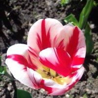 Красавец тюльпан. :: Валентина Жукова
