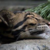 Дымчатый леопард :: Владимир Шадрин