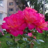 Розы на газонах Ростова-на-Дону :: татьяна