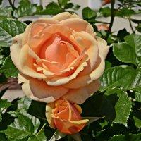 Растут возле правления розы :: Валентина