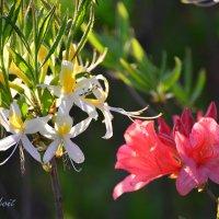 Цветы диких Рододендронов встречаются в лесах и парках Лондона :: Тамара Бедай