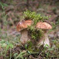 В грибной год :: Светлана Медведева