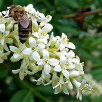 Медосбор на цветах живой изгороди :: Светлана