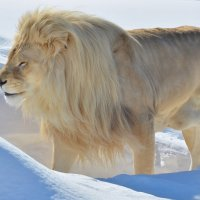 Белый лев среди сугробов :: Татьяна Каневская