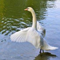 Лебедь :: Константин Анисимов